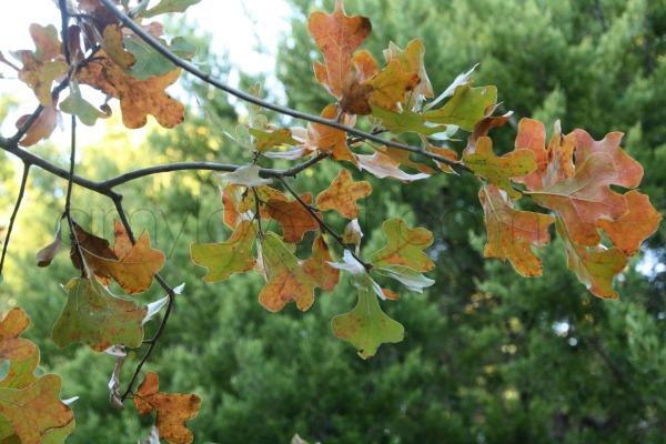 Lake Murray Fall Leaves